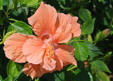 Beautiful coral hibiscus flower plant  on a bright. Exotic coral hibiscus flower on a bright sunny beach day at Sanibel Island Florida Stock Images