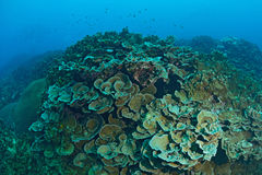Beautiful Coral in Koh Tao, Thailand Royalty Free Stock Image