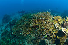 Beautiful Coral in Koh Tao, Thailand Stock Image