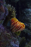 Beautiful Coral. A picture of beautiful orange-yellow and green coral on live rock Stock Photos