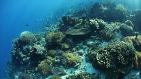 Beautiful Coral Reef in Alor, Indonesia. A beautiful and healthy coral reef thrives near the island of Alor, Indonesia. This remote region, within the Coral stock video