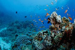Beautiful coral reef with anthias Stock Images