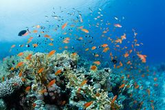 Beautiful coral reef with anthias Royalty Free Stock Photo
