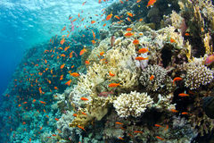 Beautiful coral reef with anthias. In the red sea royalty free stock photography