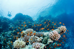 Beautiful coral reef with anthias and diver. In the background in the red sea royalty free stock photography