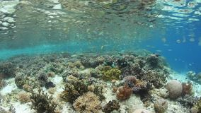 Beautiful Coral Reef and Damselfish in Raja Ampat. Small damselfish swim above shallow corals in Raja Ampat, Indonesia. This remote, tropical area is part of the stock footage