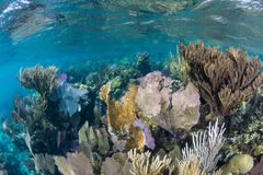 Healthy Coral Reef on Edge of Blue Hole, Belize stock photo