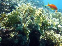 Beautiful Coral reef and fish in Red sea, Egypt stock image
