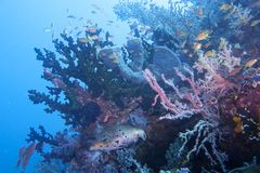 Beautiful Coral Reef Life off Padre Burgos, Leyte, Philippines. The diving around the small but vibrant town of Padre Burgos, is a real paradise for divers and Stock Images