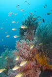 Beautiful Coral Reef Life off Padre Burgos, Leyte, Philippines. The diving around the small but vibrant town of Padre Burgos, is a real paradise for divers and Royalty Free Stock Image