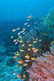 Beautiful Coral Reef Life off Padre Burgos, Leyte, Philippines Stock Images