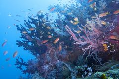 Beautiful Coral Reef Life off Padre Burgos, Leyte, Philippines Royalty Free Stock Photography