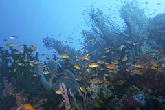 Beautiful Coral Reef Life off Padre Burgos, Leyte, Philippines. The diving around the small but vibrant town of Padre Burgos, is a real paradise for divers and Royalty Free Stock Photography