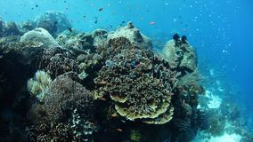 Beautiful Coral Reef Near Alor, Indonesia. A beautiful and healthy coral reef thrives near the island of Alor, Indonesia. This remote region, within the Coral stock footage