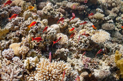 Beautiful coral reef near the Dahab city of Egypt Stock Images