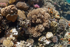 Beautiful coral reef near the Dahab city of Egypt Stock Image