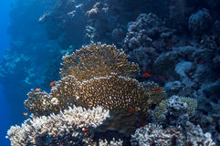 Beautiful coral reef near the Dahab city of Egypt Royalty Free Stock Photos