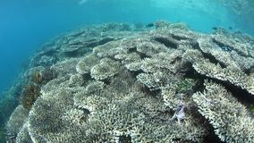 Beautiful Coral Reef in Raja Ampat. A beautiful coral reef grows in Raja Ampat, Indonesia. This tropical region is known as the heart of the Coral Triangle due stock video