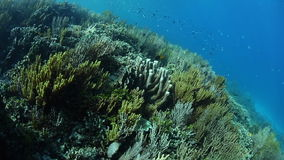 Beautiful Coral Reef in Raja Ampat. A variety of corals grow on a healthy reef in Raja Ampat, Indonesia. This tropical region is known for its extraordinary stock video footage
