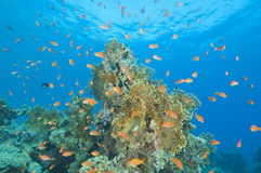 Beautiful coral reef scene Royalty Free Stock Photos