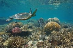 Beautiful coral reef sea turtle underwater Pacific. Beautiful coral reef with a green sea turtle underwater, south Pacific ocean, New Caledonia stock image