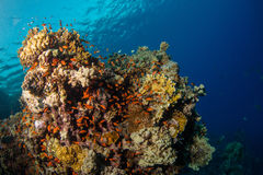 Beautiful coral reef with sealife. Underwater landscape photo with fish and marine life royalty free stock image