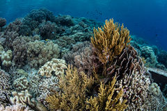 Beautiful Coral Reef in Wakatobi Royalty Free Stock Photography