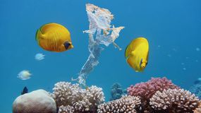 Beautiful coral reef with yellow coral butterflyfish polluted with plastic bag stock image