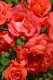 Beautiful coral roses Stock Image