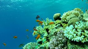 Beautiful coral. Tropical sea. Underwater coral reef red sea. The corals and fish. Transparent and warm water. Underwater life tropical fish. Beautiful exotic stock video footage