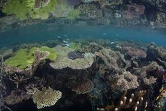 Beautiful Corals in Raja Ampat royalty free stock photo
