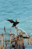 A beautiful Cormorant drying its wings Stock Images