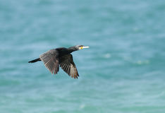 A beautiful cormorant flying Stock Image