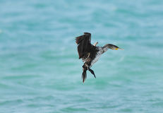 A beautiful Cormorant landing Royalty Free Stock Images