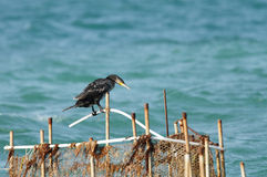 A beautiful Cormorant sitting on fishing net Stock Photography
