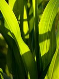 Beautiful corn leaves Stock Photography