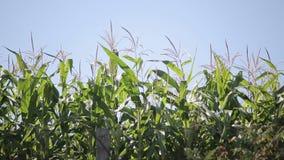 Beautiful corn plants stock video footage