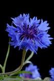 Beautiful Cornflower Stock Image