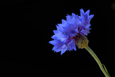Beautiful cornflower Stock Images