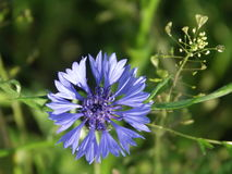 Beautiful cornflower on a background of green meadow royalty free stock photo