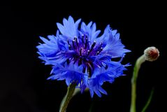 Beautiful cornflower Royalty Free Stock Images