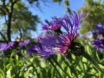 Beautiful cornflower Royalty Free Stock Photography