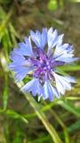 Beautiful cornflower closeup Royalty Free Stock Image