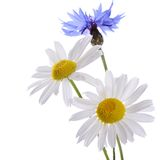 The beautiful cornflower and daisy isolated Stock Images