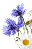 The beautiful cornflower and daisy isolated Royalty Free Stock Photos