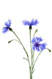 The beautiful cornflower isolated on white Royalty Free Stock Images