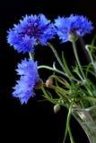 Beautiful cornflowers Royalty Free Stock Image