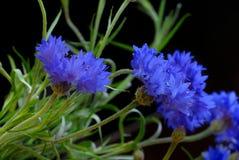Beautiful cornflowers Stock Images
