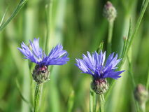 Beautiful cornflowers on a background of green field. Two blue cornflowers on background of green field and other flowers Royalty Free Stock Photo