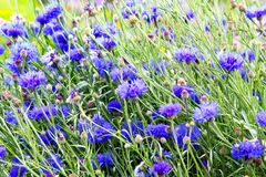 Beautiful cornflowers meadow close up. Beautiful blue cornflowers meadow in the summer time on a sunny day Stock Photography